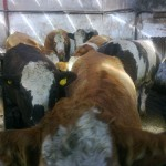 Some of Thomas Moorehead's Prime Cattle