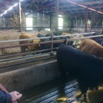 View of Cattle and State of the art Shed