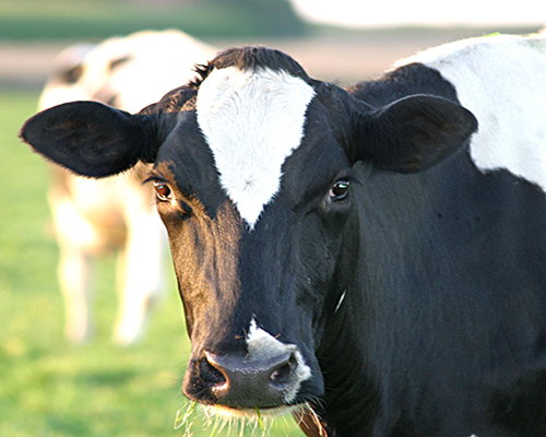 Pics For > Dairy Cow Head