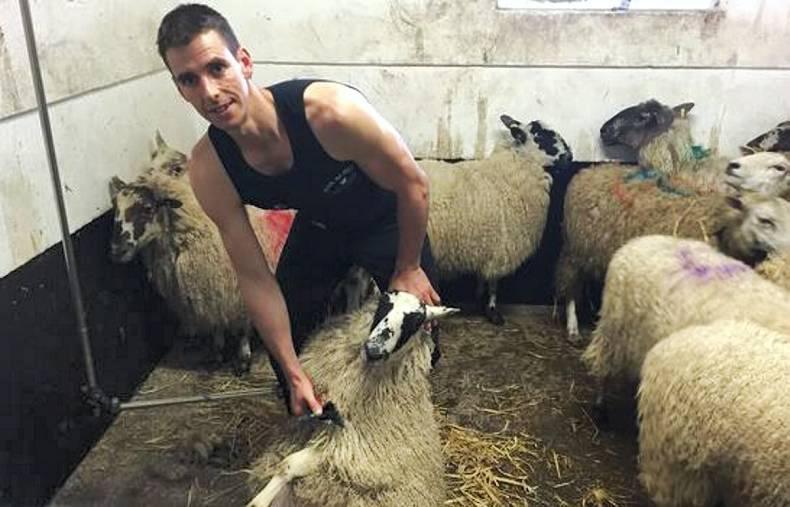 Стрижка овцы на скорость