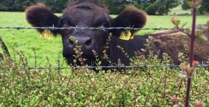 cattle-hedge-2-730x375