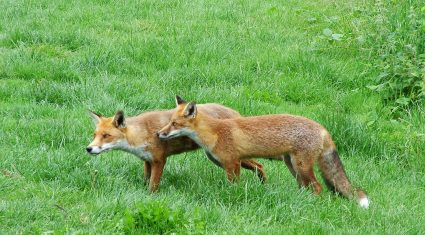 Fox Population To Increase - MED Partnership Group