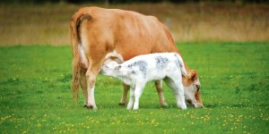 Cow and Calf