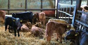 Autumn calves - Cavan