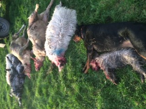 Dead sheep and dead dogs