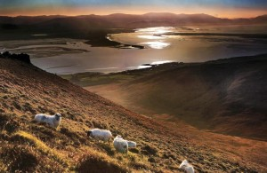 Sheep grazing on the Slieve Mish Mountains , looking towards the Iveragh Peninsula, Co Kerry. Pic. Valerie O'Sullivan