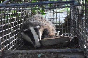 Badger captured by researchers for vaccination and identification. Pic. Trinity College Dublin