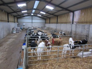 Calves indoor in shed