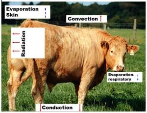 Heat stress in cattle - Figure 1 (Image Teagasc)