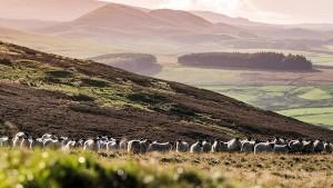 Sheep on hills
