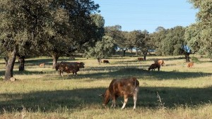 Agroforestry with cattle has been found to improve herd health while adding wood processing or sale to the farm business
