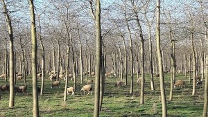 Trials in the US showed sheep can be successfully grazed in a mature orchard, reducing the need to mow