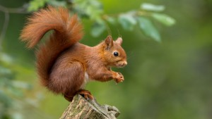 Use 1 - Red squirrel, Ireland's only native squirrel