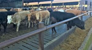 Heifers on Slats