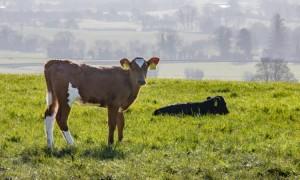 beef-calf-calves-Cattle-grass-outside-4F2A3515-Edit-750x450