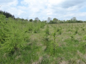 Conventional commercial Sitka Spruce Forestry - Pic. Teagasc