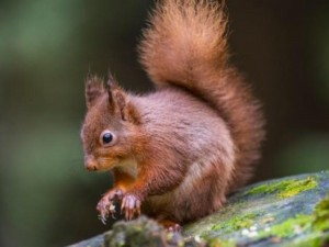 The native Irish red squirrel