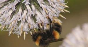 BumblebeeFlowerNov15_large (1)