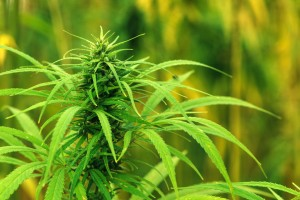Cultivated industrial marijuana hemp in field. Crushing hemp seeds produces an oil that is rich in fatty acids such as omega 3 6 and 9
