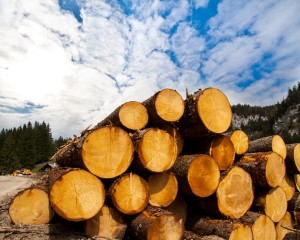 Timber logging in pine forest
