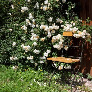 Climbing roses can hide unsightly sheds (iStock-PA)
