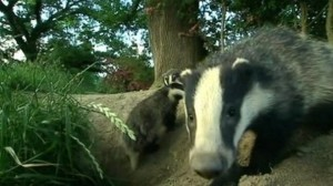 Culling badgers has a 'modest' effect in slowing the spread of TB say experts