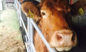cows-in-crush-4-e1540465721746-750x450
