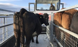 Cattle on new cot