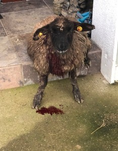 An injured sheep after the attack in Enniscorthy