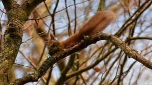 A red squirrel. Pic. Josh Twinning-PA Wire.