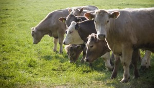 Farmers have very little options in terms of where to sell finished organic cattle.