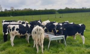 Dairy Calves-750x450