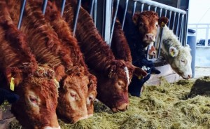 cattle-on-silage-730x450