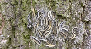 The oak processionary caterpillar poses a danger to the public. Suspected sightings should be notified immediately to the Department of Agriculture. Pic. iStock.jpg