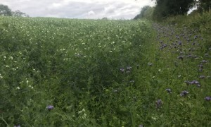 Image source AgriLand.-Dairygold field margins in protein crops.-July 2020